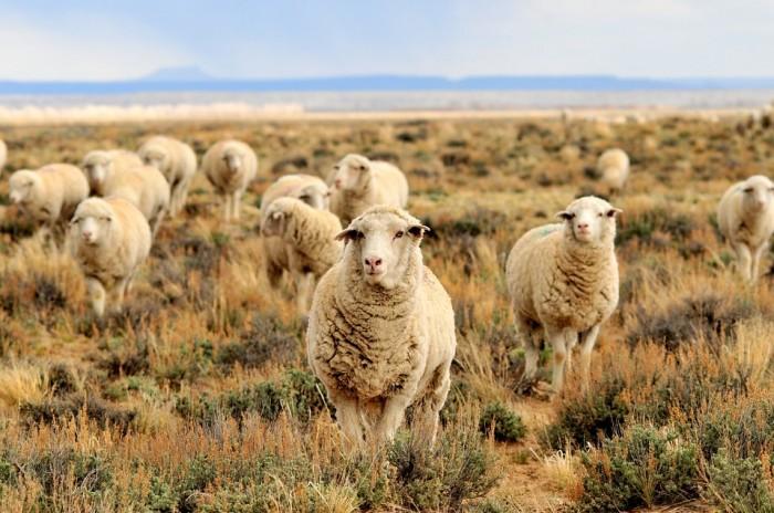sheep-931136_960_720